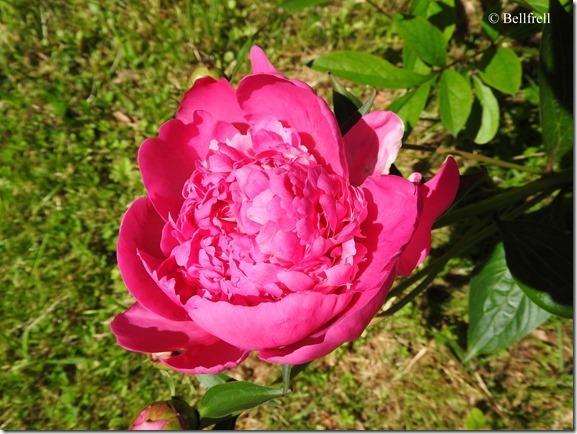 Pfingstrose rosa 2
