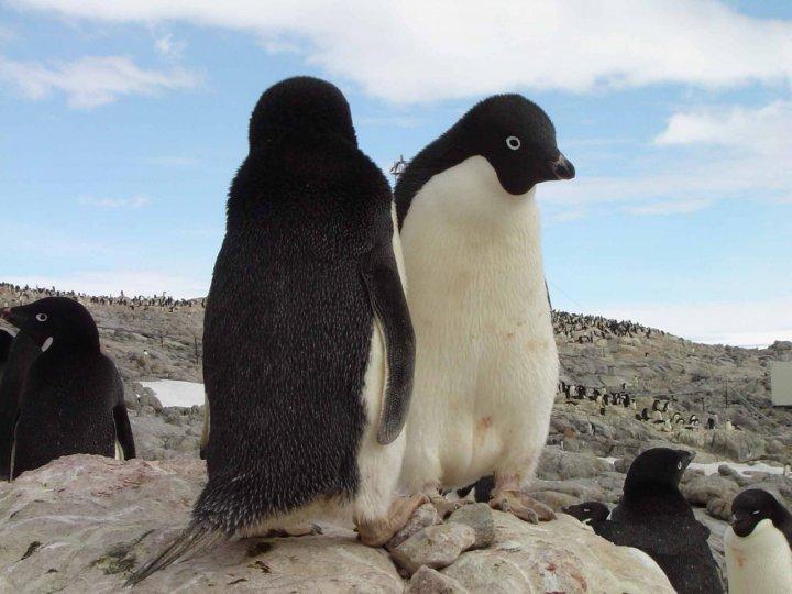 Pinguino double face di fermoiltempo