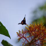 Parides sesostris tarquinius (BOISDUVAL, 1836), femelle sur Palicourea. Tunda Loma à Calderon (San Lorenzo, Esmeraldas), 27 novembre 2013. Photo : J.-M. Gayman