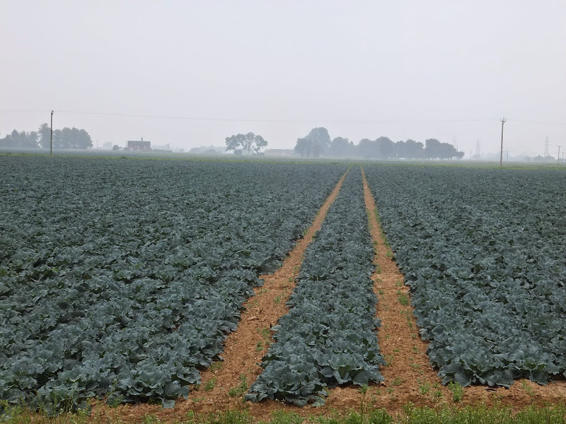 rows upon rows of cabbages