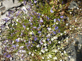 veronique des Alpes Veronica alpina Scrophulariacees.JPG