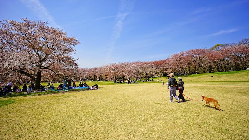 昭和記念公園 桜 写真4
