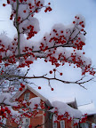 Winter berries and snow in early spring