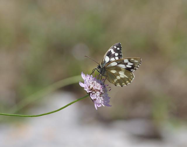Melanargia galathea (L., 1758), femelle. Les Hautes-Courennes (550 m), Saint-Martin-de-Castillon (Vaucluse), 18 juin 2015. Photo : J.-M. Gayman