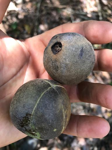 tree-like-chestnut-2017-02-20-07-48.JPG
