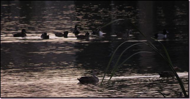 ducksIMG_5213