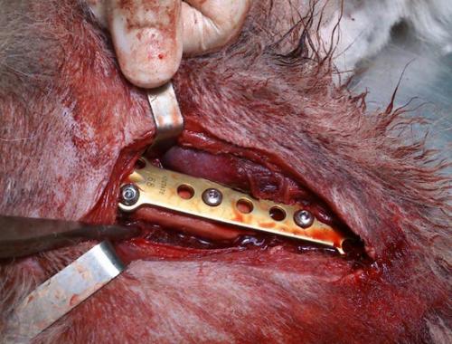 Phẫu thuật nối xương chó mèo