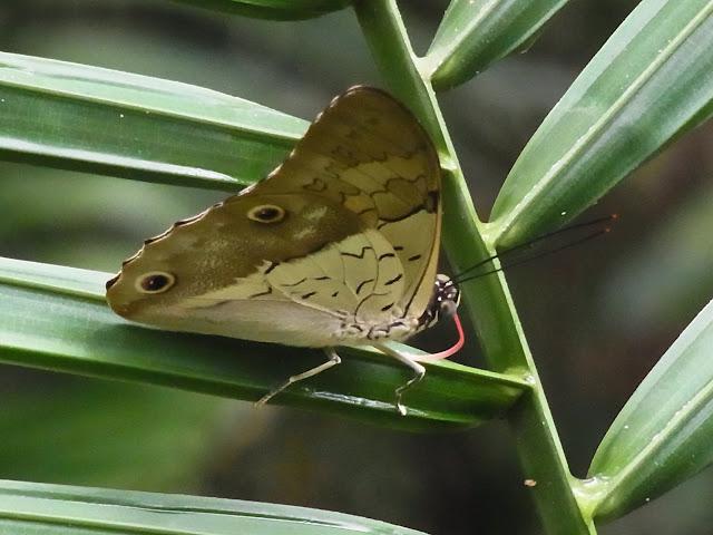 Prepona dexamenus dexamenus Hopffer, 1874. Fundo Palmarito, 265 m (Yopal, Casanare, Colombie), 23 novembre 2015. Photo : J. Michel