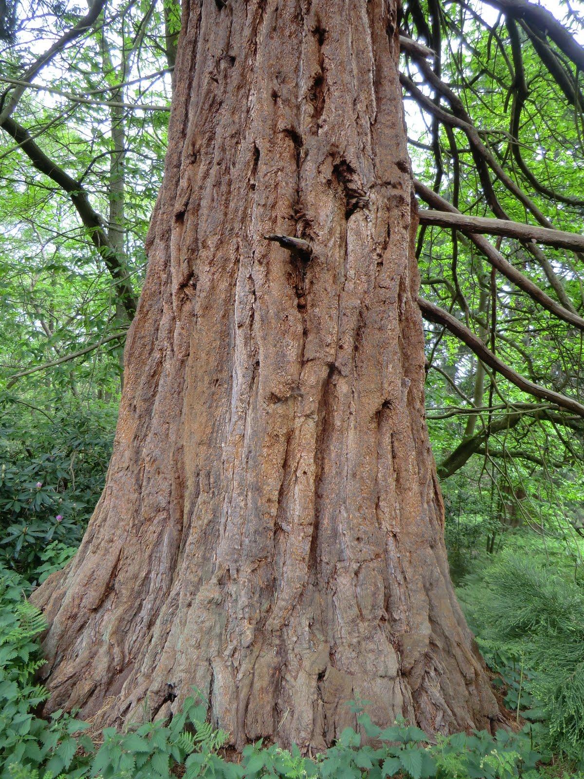CIMG8251 Giant redwood, Wellingtonia Avenue