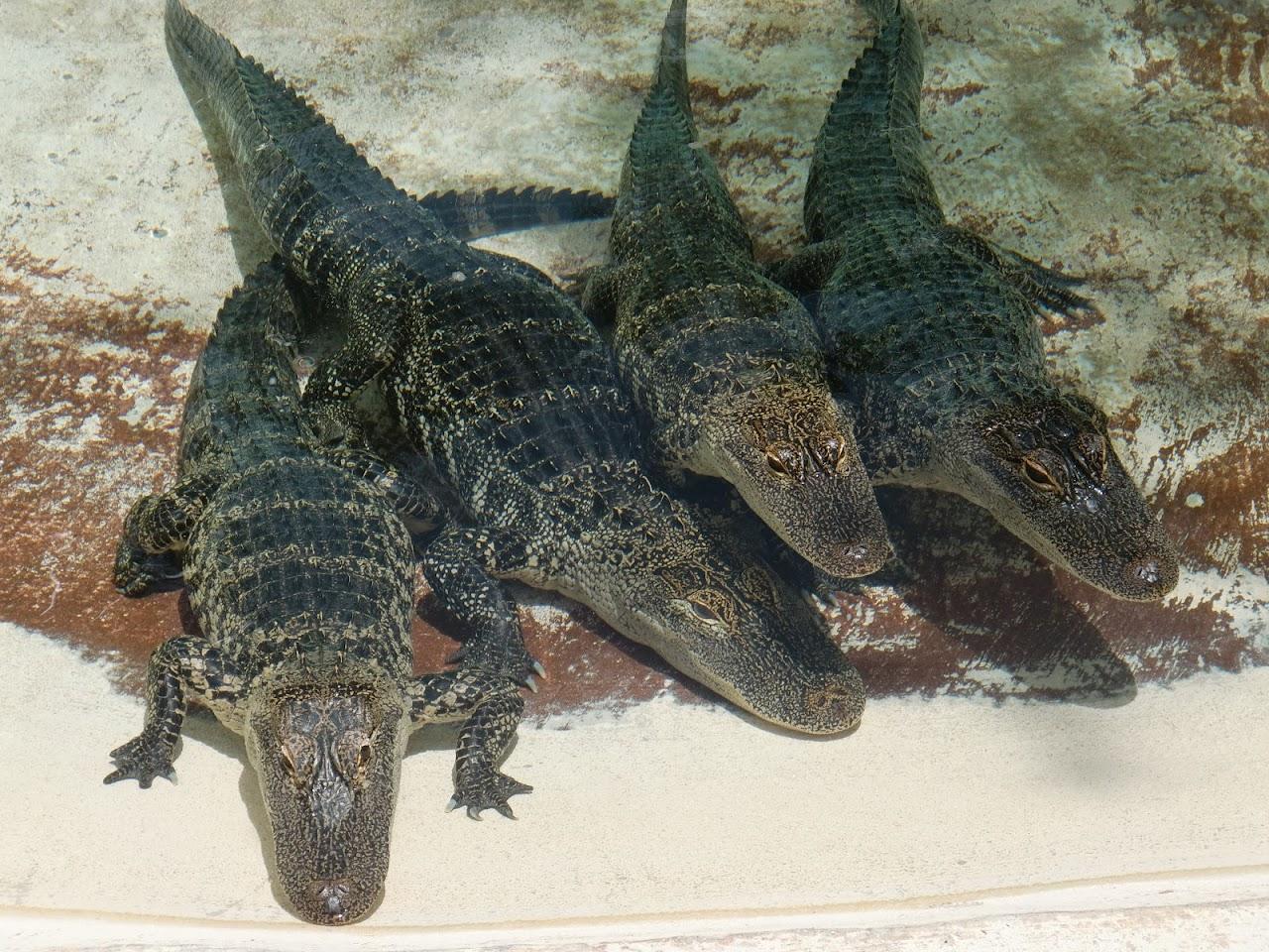 Seabase 2012 - 2012%7E07%7E25 32 Baby Gators.jpg