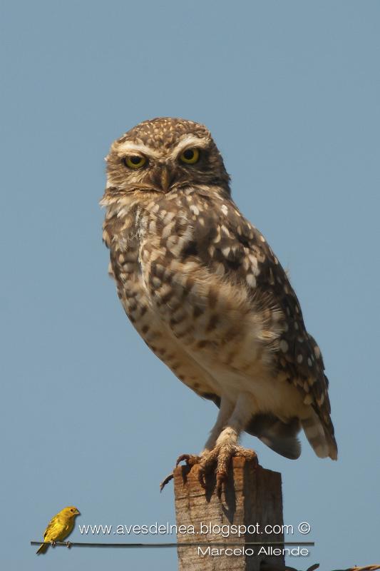 Lechucita vizcachera, Burrowing Owl, Athene cunicularia