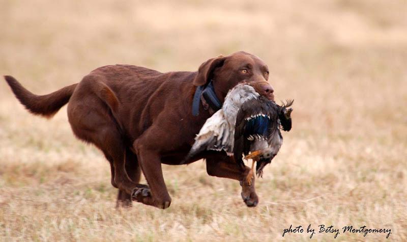 Các giống chó trung thành nhất. Những chú chó trung thành trên thế giới