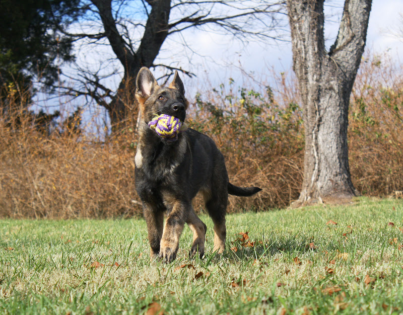 Puppy Nemain approaches the camera, head tossed high, a ball in her mouth, eyes scanning the sky