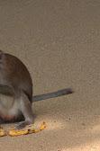 Majmun krade banane.jpg