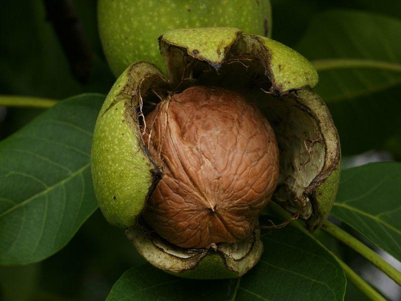 Close-up of a walnut during hull split with a green background.