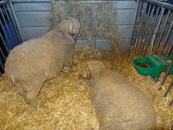 2018.02.25-053 moutons Mérinos de Rambouillet