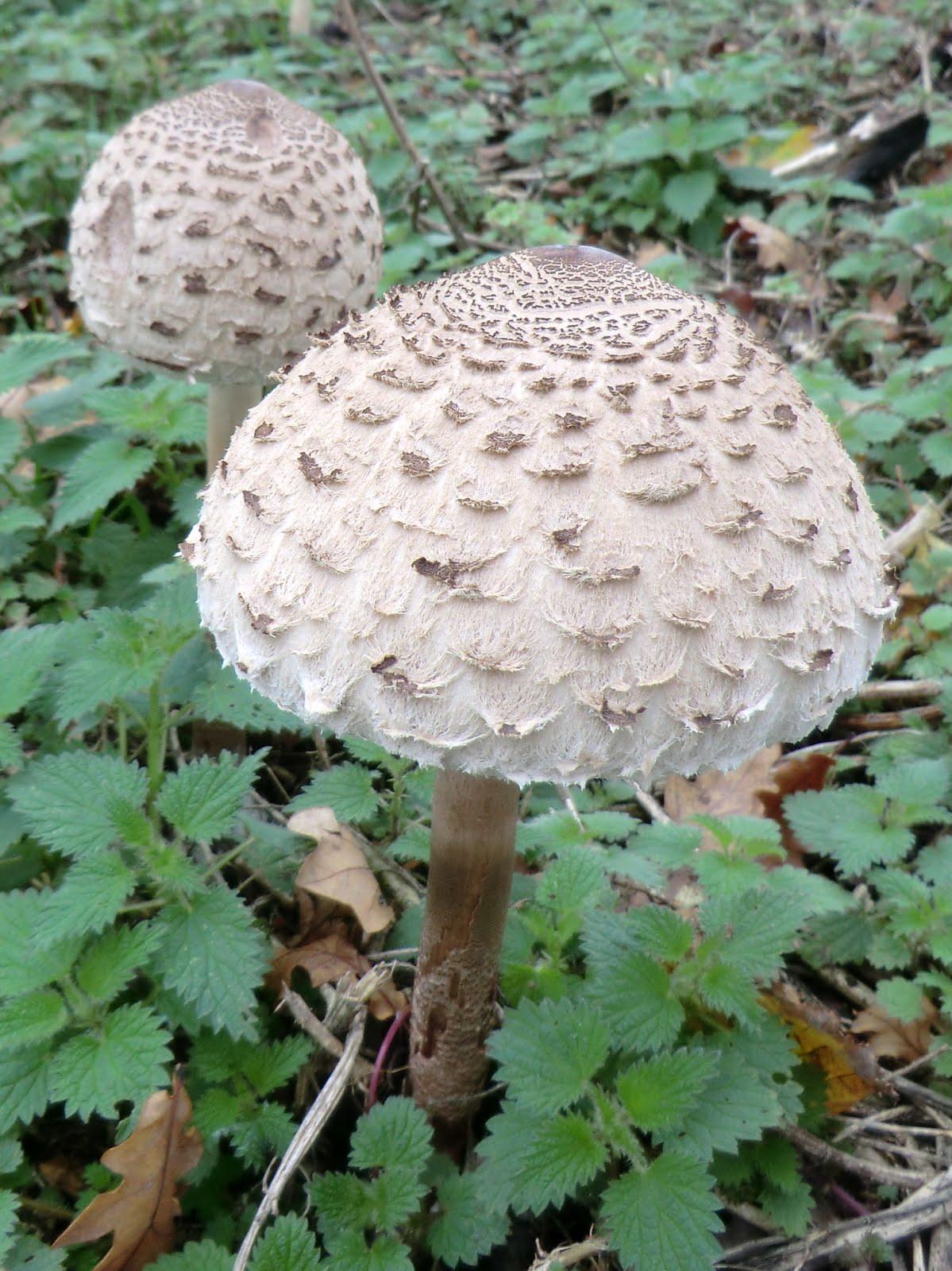 CIMG0228 Shaggy parasols in field outside Burwash