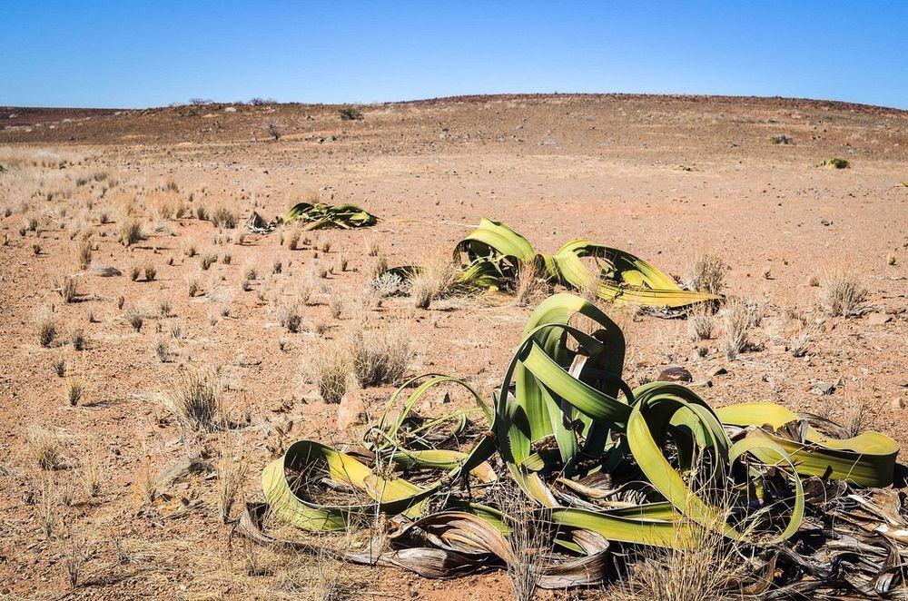 welwitschia-mirablilis-10
