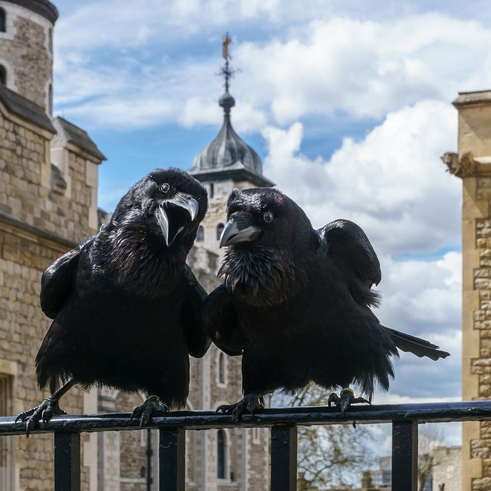 tower-of-london-raven-5