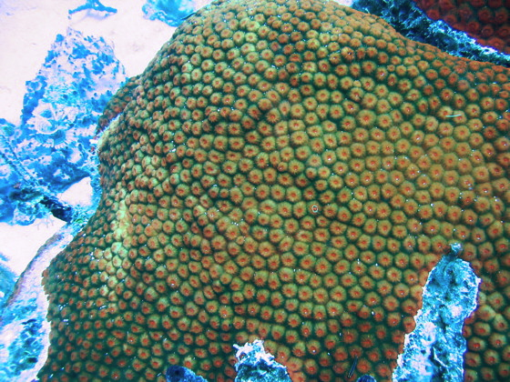 Star Coral. St Thomas Snorkeling.