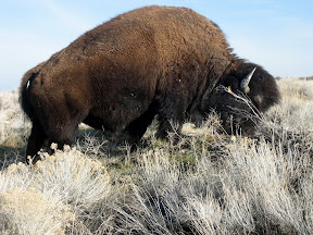 there are mother effing Bison on the Salt Lake's island, and they were'nt more than four feet from us. Scared the bejeebies out of me.