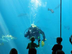 Atlanterhavsparken: Dykker kommuniserer med barna, under den daglige fiskeforingen.