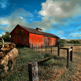 Shaggy Bull Yawns at Clouds by Lee McLaughlin - Landscapes Prairies, Meadows & Fields ( farm, scotish bull, red barn, barn, shaggy, barbed wire, cow, bull, country road )