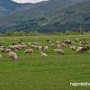 Като видя овце и винаги спирам. село Костенец