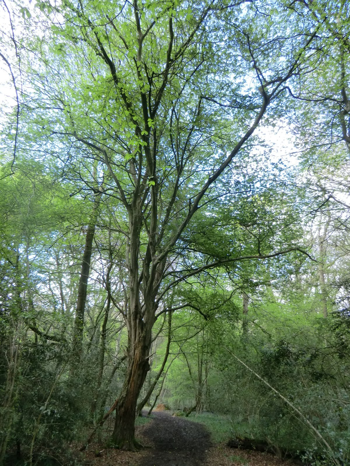 CIMG2621 Hornbeam, Staffhurst Wood