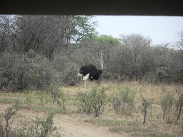 Ostrich at the Khama Rhino Sanctuary