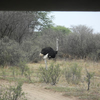 Ostrich at the Khama Rhino Sanctuary