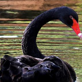 Black Swan by Mike Vaughn - Animals Birds (  )