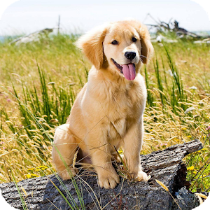golden retriever wallpaper 2