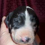 harlequin male @ 2 weeks