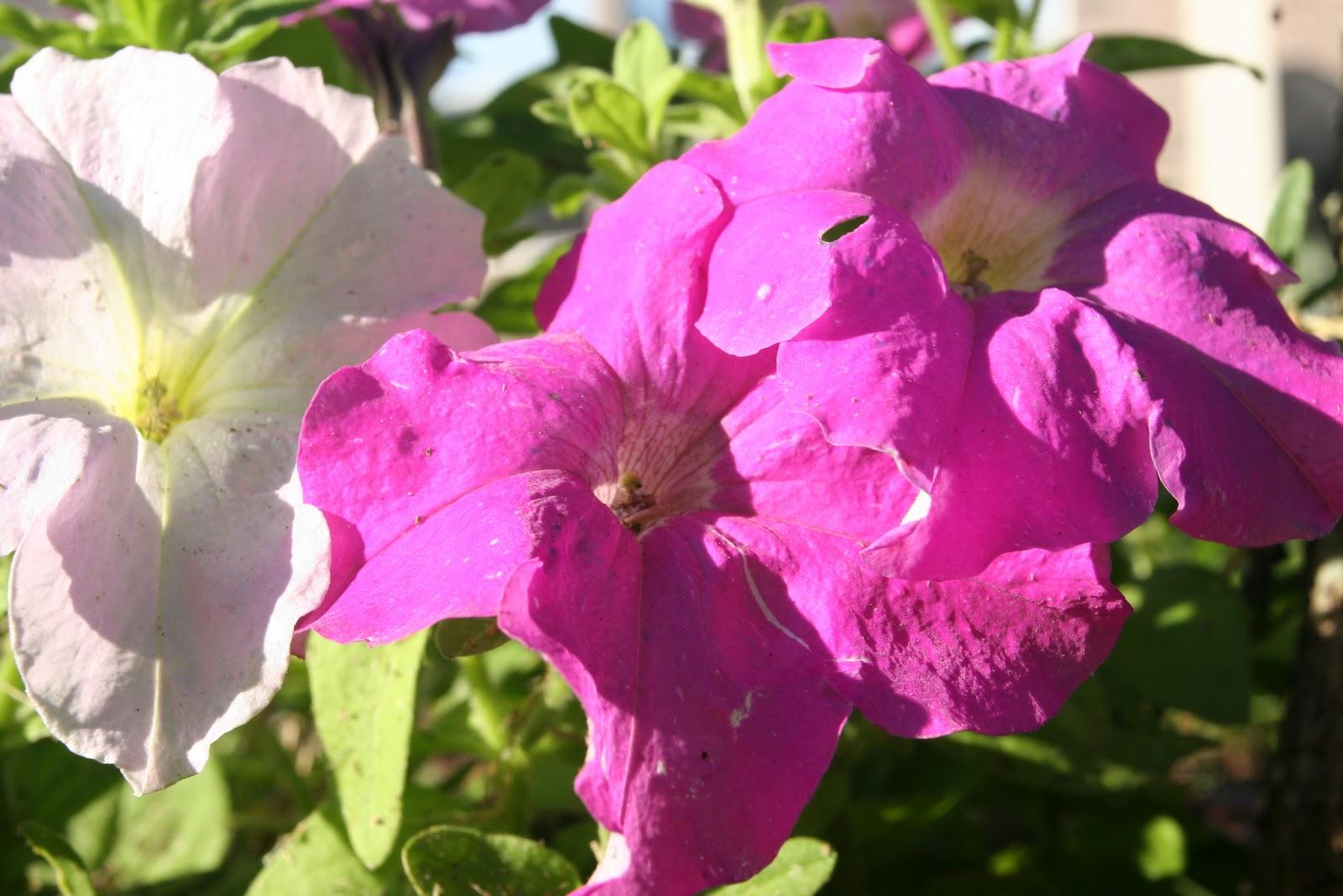 Gardening 2012 - IMG_3145.JPG