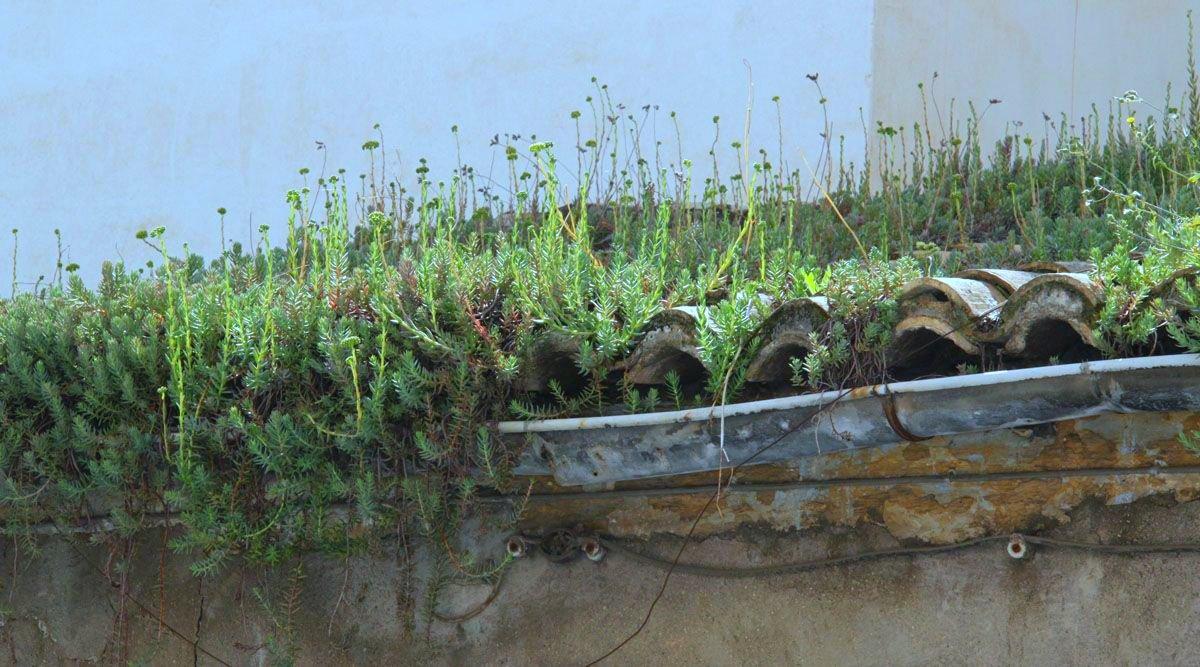 El uso del sedum en las cubiertas vegetales alicante - Cubiertas vegetales para tejados ...