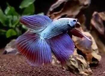 10 Fakta Menarik Tentang Ikan Cupang (Betta sp.)