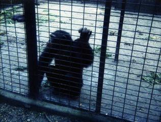 1982.07.15-034.08 chimpanzé