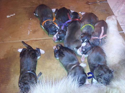 Hướng dẫn chăm sóc chó alaska con mới đẻ