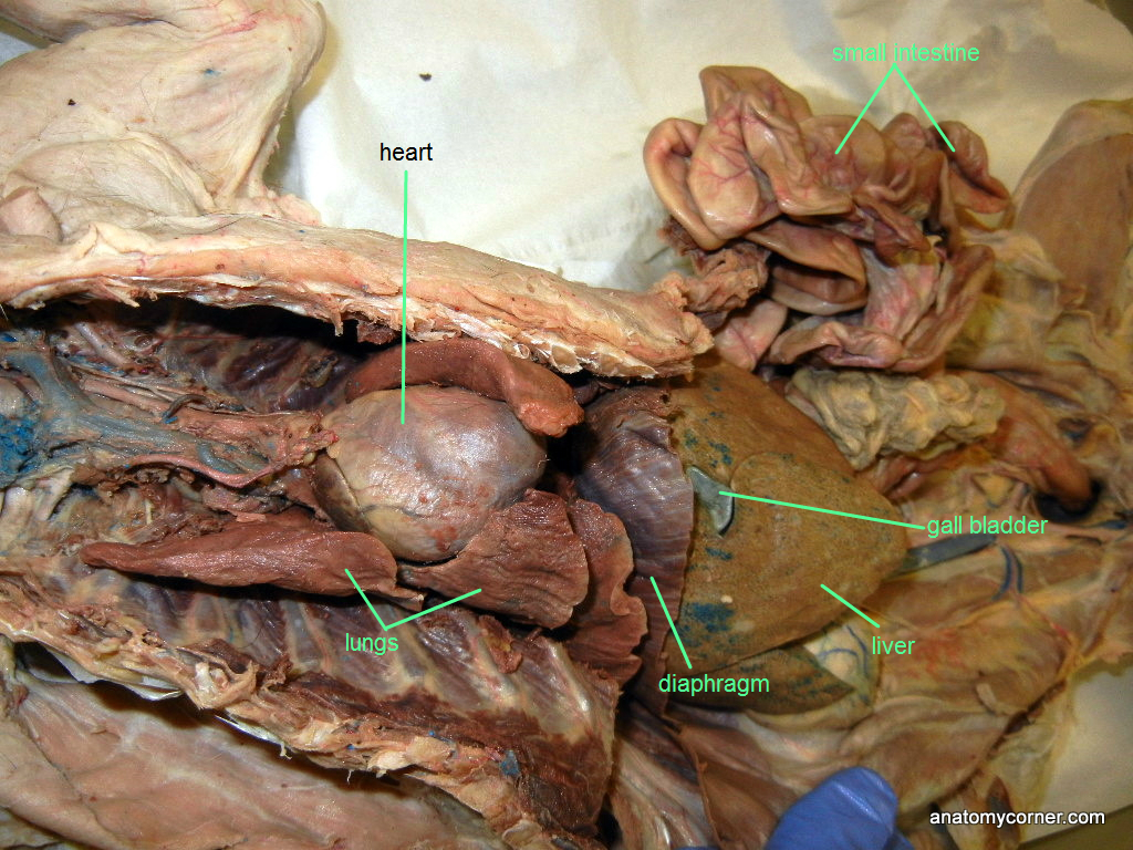 Cat Thoracic Cavity L