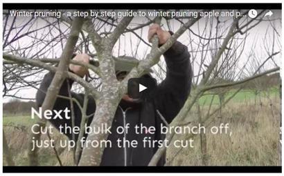 Prunig Old Apple Trees