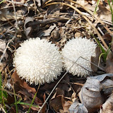 Lycoperdon echinatum, Spiny puffball