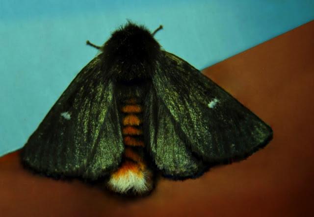 Notodontidae : Ochrogaster lunifer HERRICH-SCHAFFER, [1855]. Umina Beach (N. S. W., Australie), 11 novembre 2011. Photo : Barbara Kedzierski