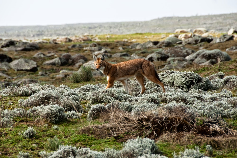 Simien Wolf in Ethiopian Highlands
