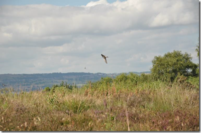 Swallows in flight over Cleaver Heath