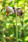 Purple Pitcher Plant flower.