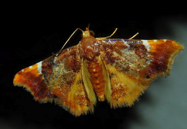 Noctuidae : Acontiinae : Corgatha omopis MEYRICK, 1902. Umina Beach (N. S. W.), 26 janvier 2012. Photo : Barbara Kedzierski