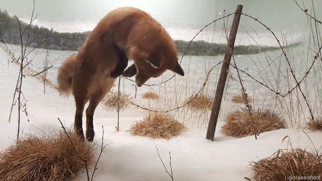 Realistic display of a fox hunting in the snowy landscape. Natural History Museum (Naturhistoriska riksmuseet) in Stockholm.