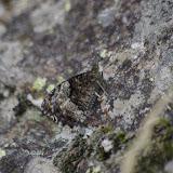 Hipparchia fagi (SCOPOLI, 1763). Cocurès, 680 m (Lozère), 7 août 2013. Photo : J.-M. Gayman
