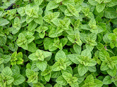 OREGANO – Cholesterol free, full of iron, fiber, antioxidants, and Vitamin K. Also contains healthy essential oils such as Thymol.
